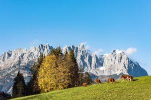 Panorama-Kuehe-Herbst-Wilder-Kaiser-Foto-von-Felbert-Reiter-1©danielreiterpetervonfelbert